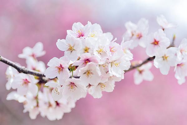 春の京都旅行中に旅館でプロポーズ