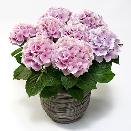 母の日花鉢ハイドランジア <コットンキャンディー>