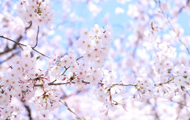 桜が咲くイメージ